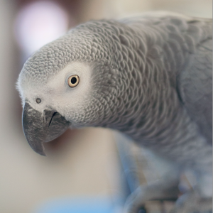 african grey parrot animal love languages
