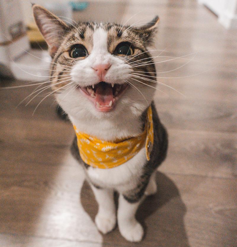 cat with bandanna baring teeth