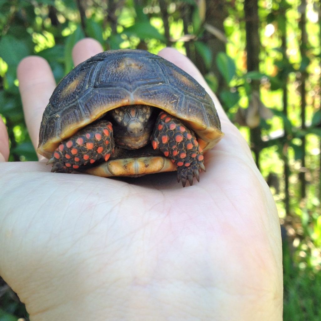 hatchling redfoot tortoise in palm of hand - Malti and Shannon of Animal Love Languages animal communication