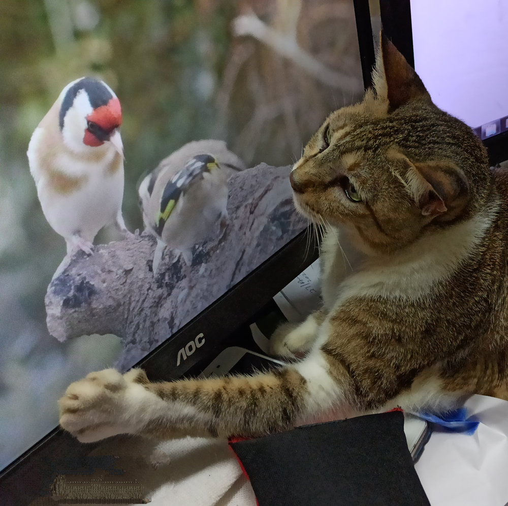 cat sees bird on laptop - animal communication with Shannon of Animal Love Languages
