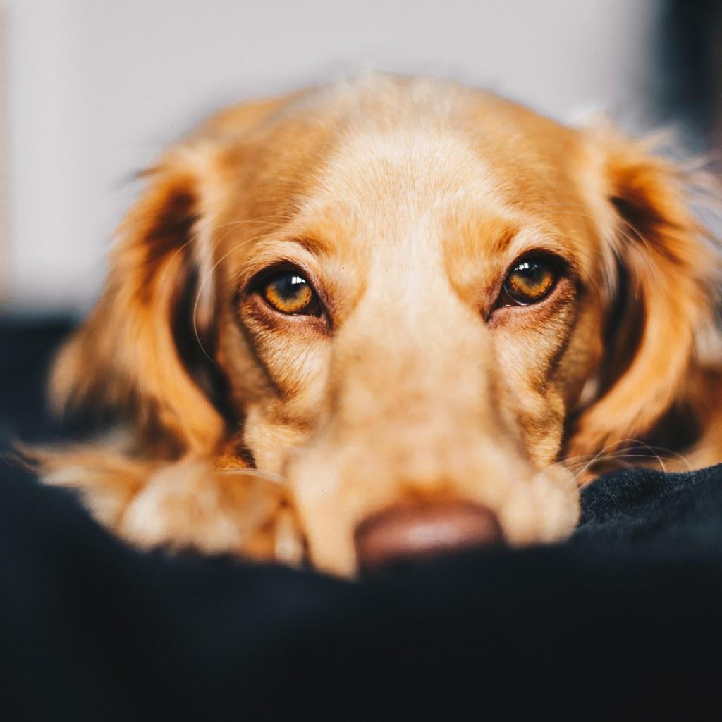 dog gazing at camera - animal communication with Shannon of Animal Love Languages