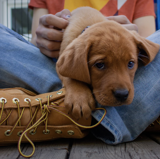 puppy on boy's shoe - animal communication with Shannon Cutts of Animal Love Languages
