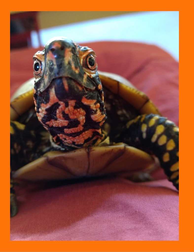 testimonial for Shannon of Animal Love Languages - Gina Manso & Spike the box turtle