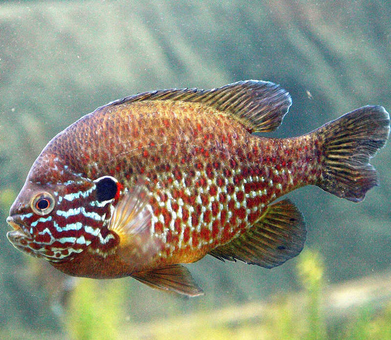pumpkinseed fish can exhibit high sensitivity - animal communication from Shannon of Animal Love Languages
