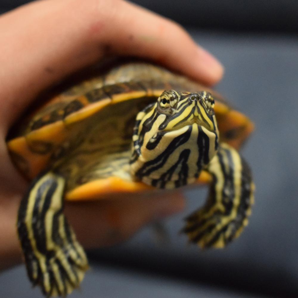slider turtle pet - animal communication with Shannon of Animal Love Languages