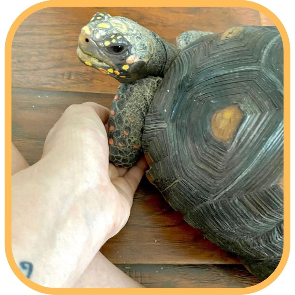 Reiki Master practitioner Shannon Cutts of Animal Love Languages giving Reiki to Malti the tortoise