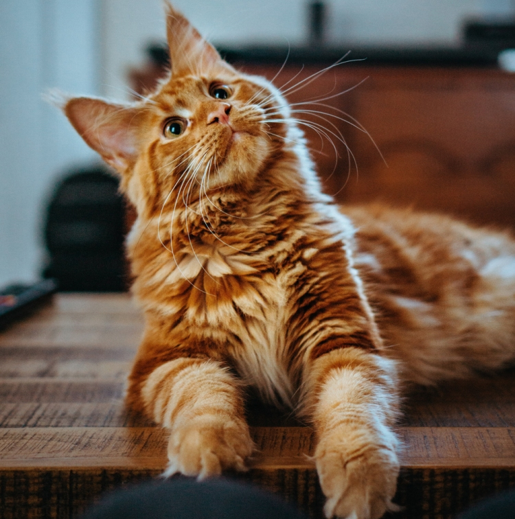 cute cat sitting on antique furniture - animal communication with Shannon of Animal Love Languages